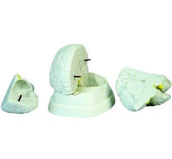Beyin Modeli 3 Parça