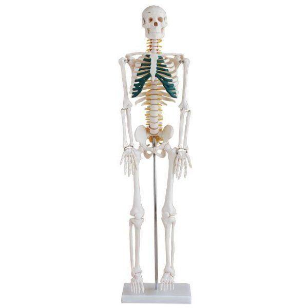 İnsan İskeleti Modeli Spinal Sinirli 85 cm