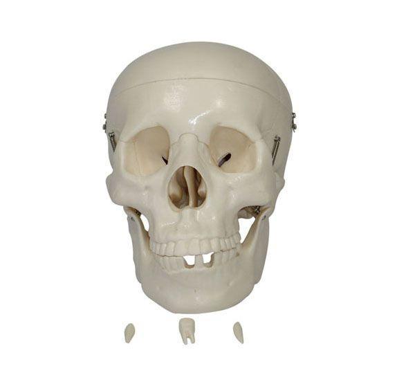 Kafatası Modeli